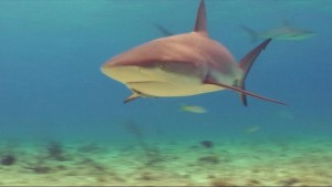 Reef Sharks At Sugar Wreck