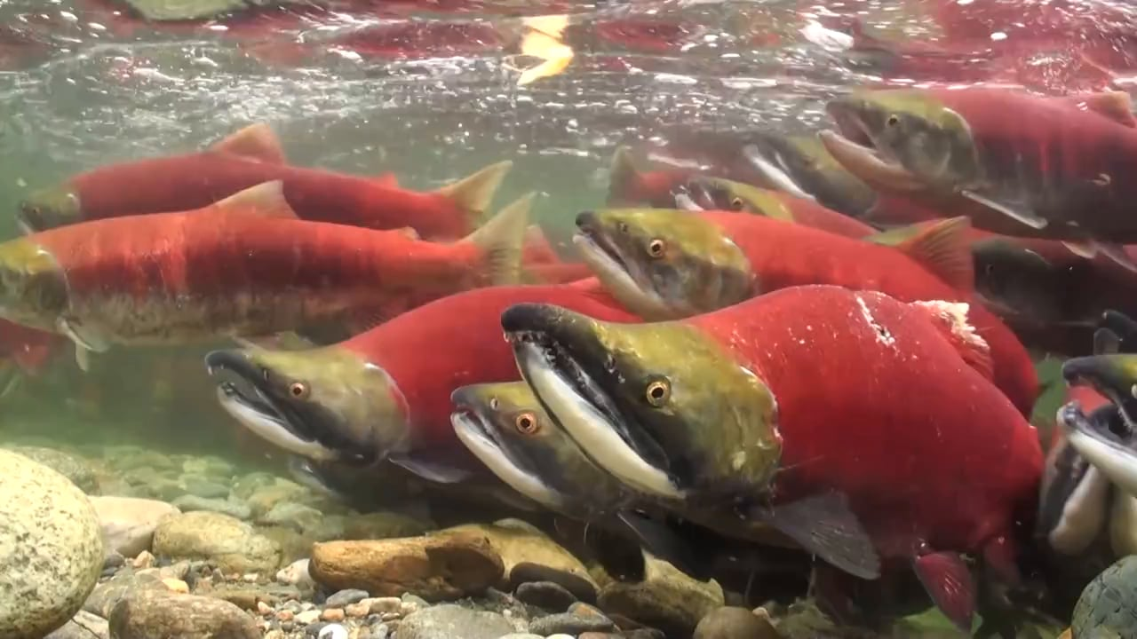 Salute to the Sockeye