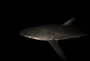 Snorkel At Night With Silky Sharks