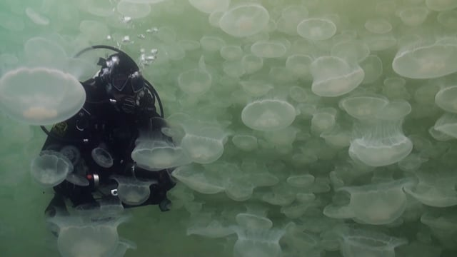 Alaska – Jellyfish Bloom and Salmon Sharks